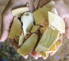 Eurycoma Longjack – Żeń-Szeń malezyjski- nektar bogów?!