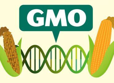 GMO – dobro czy zło?