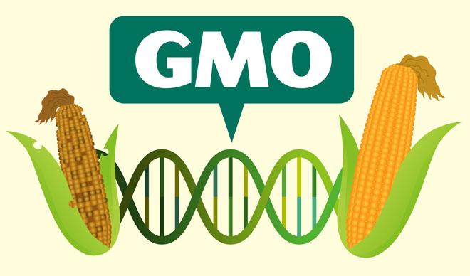 GMO - dobro czy zło? - Testosterone Wiedza