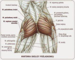 mięśnie pośladkowe