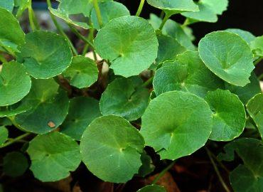 Gotu kola – roślina o niezwykłych właściwościach