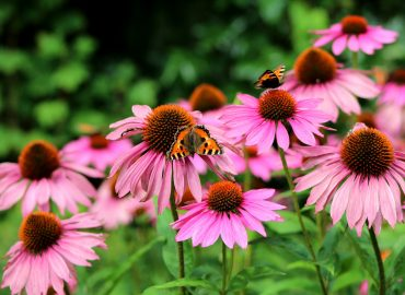 Echinacea (jeżówka) – roślina o wyjątkowych właściwościach