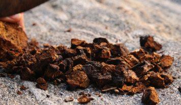 Chaga – grzyb witalny