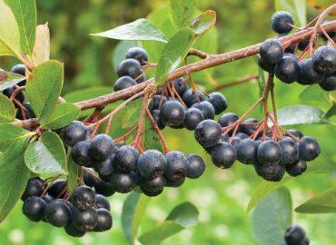 Aronia – prozdrowotny owoc