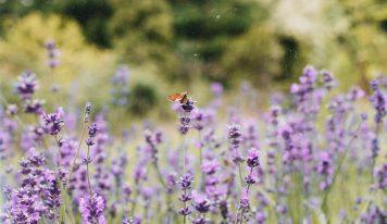 Lawenda, olejek lawendowy – nie tylko roślina ozdobna